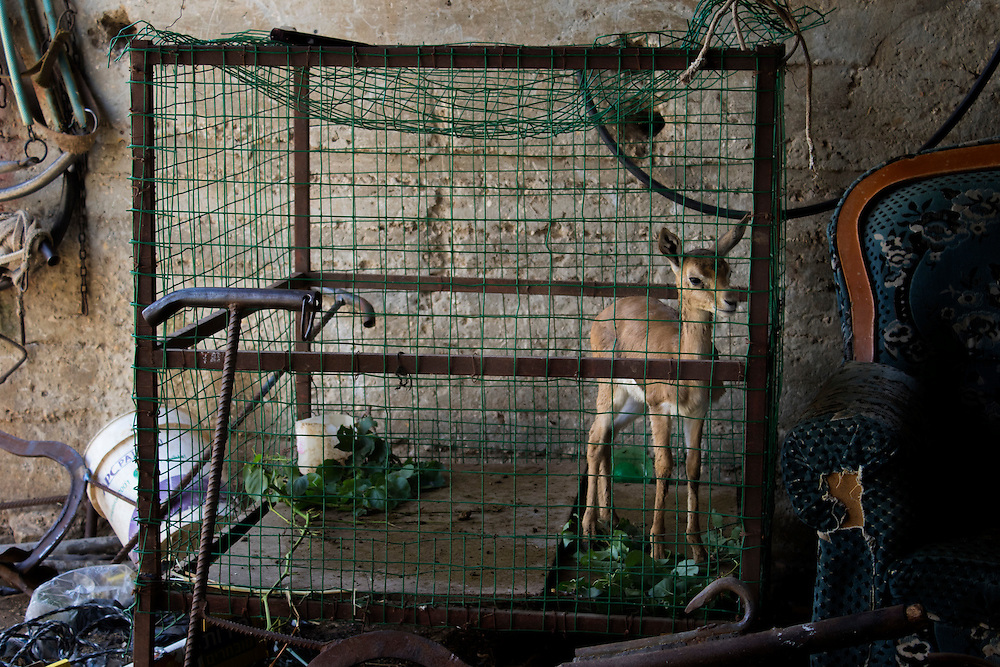 A young gazelle, taken from the wild and caged to raise for slaughter. Bir Zeit, Palestine