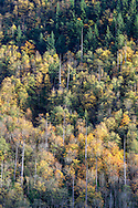 """Fall foliage color, mostly Bigleaf Maple (Acer Macrophyllum), on the slopes of Sasquatch Peak in Sasquatch Provincial Park, British Columbia, Canada.  Photographed from """"The Point"""" at Deer Lake."""
