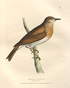 Merula minor color plate of North American birds from Fauna boreali-americana; or, The zoology of the northern parts of British America, containing descriptions of the objects of natural history collected on the late northern land expeditions under command of Capt. Sir John Franklin by Richardson, John, Sir, 1787-1865 Published 1829