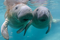 """The male manatee to our right subtly touches the left flipper of an interested female manatee. Even though the large manatee mating herds are active, there is much socialization that goes on between manatees that is curious and gentle. It is refered to as """"cavorting"""" by the manatee researchers. This is a peek at an undisturbed, natural behavior while this manatee winters in the freshwater springs. Florida manatee, Trichechus manatus latirostris, a subspecies of the West Indian manatee, endangered. Three Sisters Springs, Crystal River National Wildlife Refuge, Kings Bay, Crystal River, Citrus County, Florida USA. IUCN Red List: Endangered. USFWS implemented downlisting to Threatened 2017: http://www.iucnredlist.org/details/22106/0. Taken under USFWS SUP Permit."""