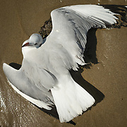 A seagul lays with its wings open on the beach.