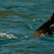 Sea otter in the cold waters of Aialik Bay, Kenai Fjords National Park, AK