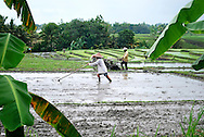Farmers work in a rice field along the road to Tanah Lot temple, Bali, Indonesia, Southeast Asia