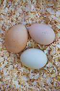 three chicken eggs, two brown and one blue in a bed of cedar chips in an urban chicken coop