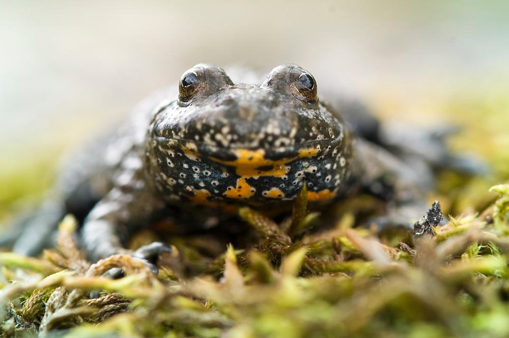 European fire-bellied toad (Bombina bombina), klockgroda<br /> Location: Eneborg, Skåne, Sweden