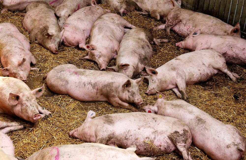 Groesbeek, 27 juni 2004.Week van het Platteland. Open dag op boeren bedrijven... Bedrijf: Harmfarm. Varkenshouderij van fam van Bentum...Foto (c) Michiel Wijnbergh