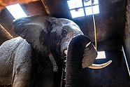 African Elephant Capture