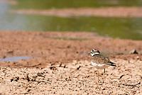 A Killdeer, Charadrius vociferus, stands on the shore of a lake in the Riparian Preserve at Water Ranch, Gilbert, Arizona