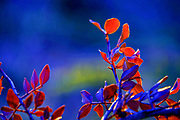 Nature photography botanical image of red leaves with a blue background