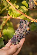 Pinot Noir grapes ripen at then end of a hot summer for Oregon's Willamette Valley.
