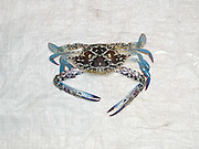 Crab freshly caught by the fishermen of Tamiao, Bantayan Island, The Philippines. On November 6 2013 Typhoon Haiyan hit the Philippines and was one of the most powerful storms to ever make landfall. Fishing families who lived in the path of the typhoon have lost boats, nets and tools, the essentials they need to produce food and earn a living. Oxfam is working with fishing communities to rebuild boats and repair nets.