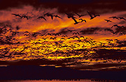 Snow Geese, Chen caerulescens, rising from roost, leaving before sunrise, in flight, flying, Bosque del Apache, New Mexico, mass migration.