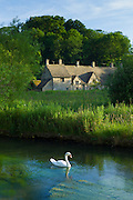 Swan on River Coln by Arlington Row cottages traditional almshouses in Bibury, Gloucestershire, The Cotswolds, UK