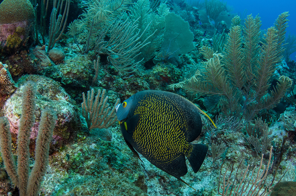 French Angelfish (Pomacanthus pari)<br /> Hol Chan Marine Reserve<br /> Ambergris Caye<br /> Belize<br /> Central America
