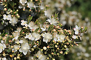 Blossoming myrtle (Myrtus communis) Photographed in Israel in June