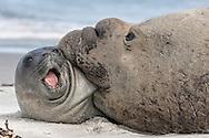 Southern Elephant Seal bull - Mirounga leonina - bull with captured pup
