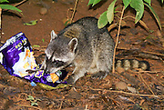 Raccoon (Procyon lotor) foraging for food. The raccoon lives in most types of environment, including mountains, cities and forests, but prefers to be near water. It is omnivorous, eating plant matter as well as hunting insects, crustaceans and occasionally fish, frogs and smaller mammals. The raccoon is known for its habit of washing its food with water or with its hands before eating it. It is mainly nocturnal, and tends to be solitary and territorial, meeting only to mate. The raccoon is found from southern Canada to Panama. Photographed at the Manuel Antonio National Park, (Parque Nacional Manuel Antonio), Costa Rica