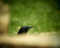 American Black Crow. Image taken with a Nikon D4 camera and 600 mm f/4 VR lens (ISO 360, 600 mm, f/4, 1/200 sec).