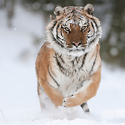 Siberian tiger in the snow. Captive Animal ~ Non-Editorial Use Only!