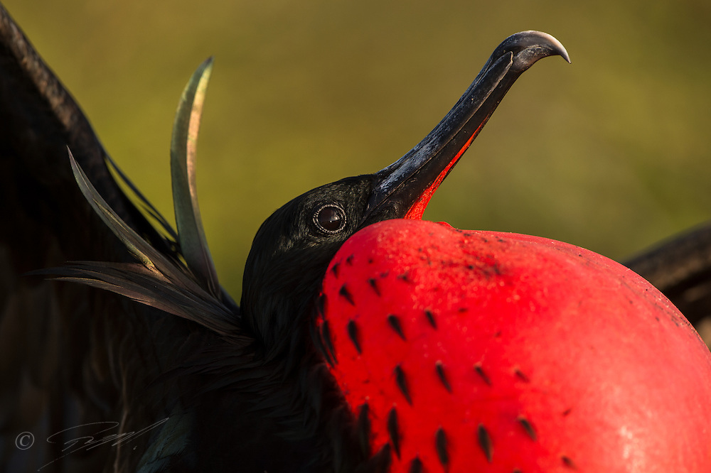 The male Magnificent Frigatbird is showing of his elaborate throat sack to attract a possible mate flying by.  Galapagos.