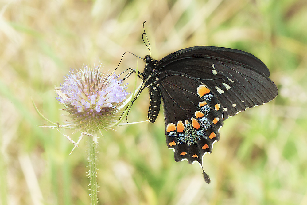 """Black swallowtail butterfly<br /> <br /> Available sizes:<br /> 12"""" x 18"""" print <br /> <br /> See Pricing page for more information. Please contact me for custom sizes and print options including canvas wraps, metal prints, assorted paper options, etc. <br /> <br /> I enjoy working with buyers to help them with all their home and commercial wall art needs."""