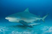 bull shark, Carcharhinus leucas, female in seasonal breeding aggregation, with sharksuckers or remoras, Echeneis naucrates, Playa del Carmen, Cancun, Quintana Roo, Yucatan Peninsula, Mexico ( Caribbean Sea )
