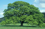 Oak tree in Spring, Quercus robur, new leaves, season sequence.