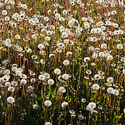 Dandelions having bloomed and ready to go to seed. Sisimiut, Greenland