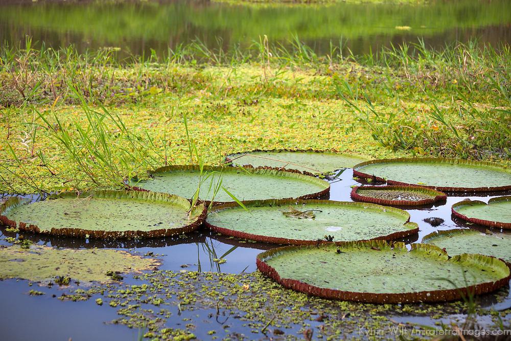 South America, Peru, Amazon. Lilly Pads of Peruvian Amazon.
