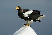 Steller's Sea Eagle, Haliaeetus pelagicus, on sea pack ice, Okhotsk Sea, Rausu, Hokkaido, Japan, japanese, Asian, wilderness, wild, untamed, photography, ornithology, snow, bird of prey, Vulnerable