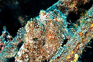 Frogfish Profile, Carthaginian, Maui Hawaii
