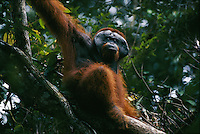 An adult male Bornean Orangutan (Pongo pygmaeus) named  Jari Manis on the branch of a tree.
