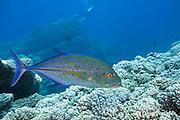 bluefin trevally, bluefin jack, or omilu, Caranx melampygus, Lehua Rock, off Niihau, near Kauai, Hawaii, USA ( Central Pacific Ocean )