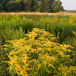 Goldenrod, grows in a hay field in Bridgewater, Massachusetts.  Summer.