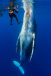 snorkeler, underwater videographer and spyhopping humpback whale, Megaptera novaeangliae, Hawaii, USA, Pacific Ocean