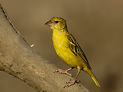 Yellow canary, Crithagra flaviventris, Limpopo, South Africa