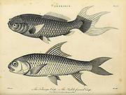 Cyprinus 1. Telescope Carp 2. Sickle-finned Carp Copperplate engraving From the Encyclopaedia Londinensis or, Universal dictionary of arts, sciences, and literature; Volume V;  Edited by Wilkes, John. Published in London in 1810