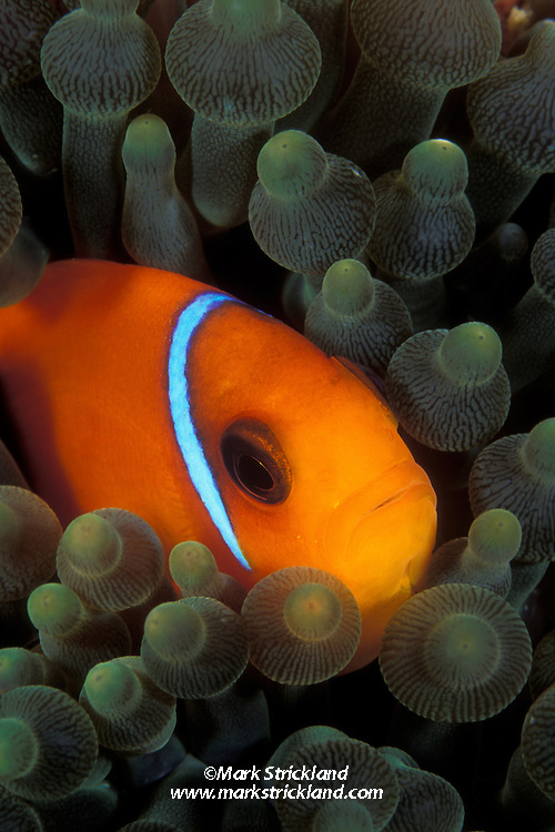 A juvenile Red Saddleback Anemonefish, Amphiprion ephippium, peers from among the tentacles of its host anemone. The white vertical bar across the gill covers will fade away as it reaches maturity. Richelieu Rock, Thailand, Andaman Sea