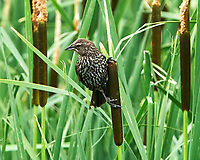 Female Red-winged Blackbird (Agelaius phoeniceus). Arapaho National Wildlife Refuge, Colorado. Image taken with a Nikon D300 camera and 80-400 mm VR lens.