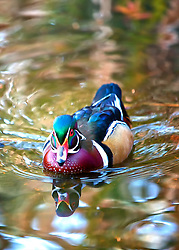 A Wood Duck swims towards the camera casting reflections in the warm water below.<br /> <br /> The wood duck is one of the most beautiful of the North American ducks. In the early 1900s, the species was considered in danger of extinction throughout its range due to market shooting, habitat loss, and hunting seasons that extended into the breeding season. <br /> <br /> With the implementation of the Migratory Bird Treaty Act in 1918 between the United States and Canada, market shooting was outlawed and judicious hunting season lengths and bag limits were instituted. These changes, together with the construction and placement of nest boxes during the last seven decades, have resulted in a dramatic comeback of wood duck populations.<br /> <br /> Wood ducks are among the most productive egg layers of all the duck species. This evolutionary adaptation occurs because wood ducks experience very high duckling mortality rates. If the first nest fails, the female will attempt up to 2 re-nests to raise a brood.