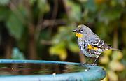 Yellow rumped warbler (Setophaga coronata) surveying the bath