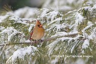 01530-22909 Northern Cardinal (Cardinalis cardinalis) female in pine tree in winter snow Marion Co. IL