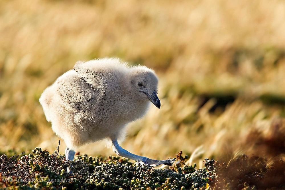 A baby skua learns to walk in the Falkland Islands