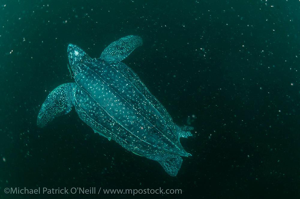 A female Leatherback Sea Turtle, Dermochelys coriacea, swims in the murky Caribbean Sea offshore  Grand Riviere, Trinidad, prior to nesting.