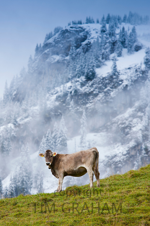 Traditional alpine cattle in the Bavarian Alps, Germany