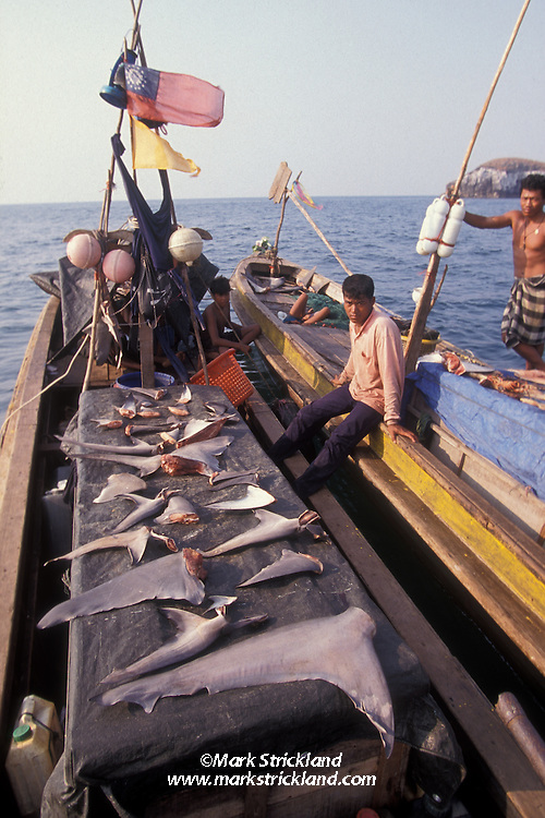 These fishermen are drying their catch of shark fins, destined to be sold for the lucrative shark-fin soup market.  High prices in recent years have encouraged finfishing, an extremely wasteful practice that involves discarding sharks' bodies once fins have been removed, often while the animals are still alive, resulting in a slow, miserable death by starvation.  Mergui Archipelago, Myanmar, Andaman Sea