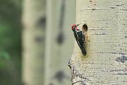 Yellow-bellied sapsucker (Sphyrapicus varius) leaving nest in mature trembling aspen tree (Populus tremuloides). <br />Banff National Park<br />Alberta<br />Canada