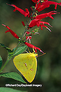 03091-00614 Cloudless Sulphur butterfly (Phoebis sennae) female on Pineapple Sage (Salvia elegans) Marion Co. IL