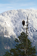A Bald Eagle (Haliaeetus leucocephalus) perched in a dead pine tree during the Fraser Valley Bald Eagle Festival in British Columbia, Canada