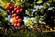 Montes Claros_MG, Brasil...Plantacao de uvas em Montes Claros, Minas Gerais...Viniculture in Montes Claros, Minas Gerais...Foto: LEO DRUMOND / NITRO